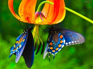 blue-butterfly-wallpapers-hd-300x225 (1)