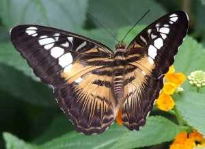 papillon-2-300x218