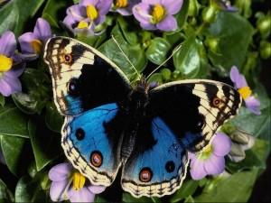 papillon-bleu-300x225