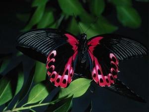 papillon-noire-rose-300x225