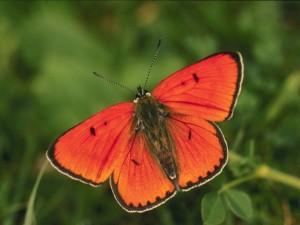 papillon-orange-300x225