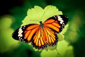papillon-Tiger-300x200